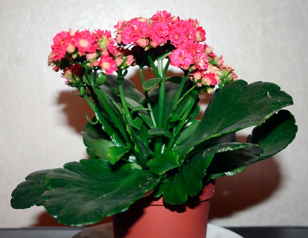 paraziták a Kalanchoe- on)